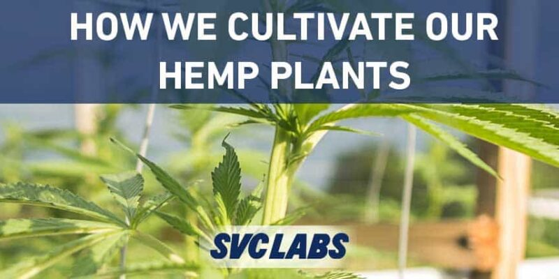how we cultivate hemp plants