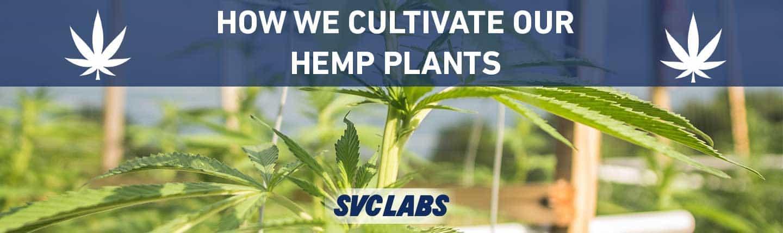 how we cultivate hemp plants